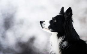 Картинка зима, взгляд, морда, природа, фон, портрет, собака, светлый, черная, профиль, боке, бордер-колли