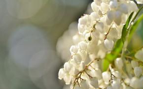 Картинка макро, фон, колокольчики, боке, белые цветочки