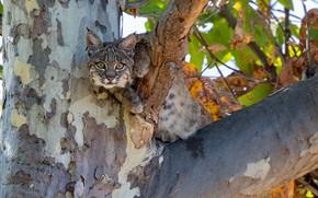 Картинка взгляд, дерево, детёныш, рысь, дикая кошка, на дереве