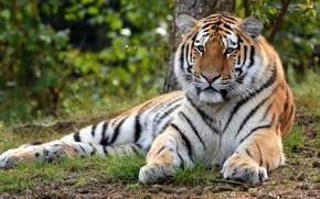 Картинка природа, тигр, лежит, тигренок, молодой