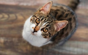 Картинка кошка, кот, взгляд, котенок, серый, паркет, пол, котёнок, полосатый, вид сверху, кареглазый, подросток, с белым, …