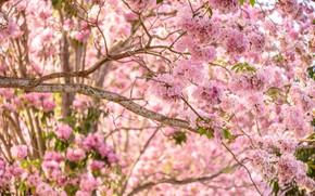 Картинка цветы, ветки, весна, розовые, цветение, pink, blossom, flowers, spring, bloom