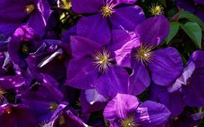 Картинка макро, цветы, сад, фиолетовые, много, сиреневые, клематис, ломонос
