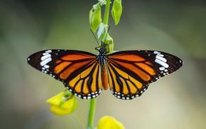 Картинка макро, цветы, фон, узор, бабочка, крылья, желтые, стебель, насекомое, рыжая