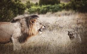 Картинка хищники, морды, обработка, пасть, дикие кошки, угроза, клыки, поле, противостояние, рычание, ситуация, природа, выражение, кусты, …