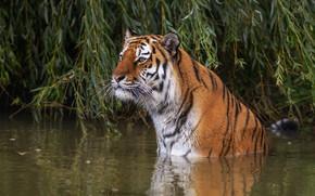 Картинка взгляд, морда, листья, вода, ветки, тигр, купание, водоем