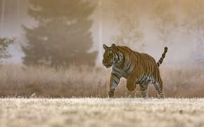 Картинка природа, тигр, прогулка