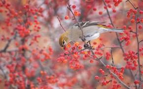 Картинка осень, ветки, природа, ягоды, фон, дерево, птица, куст, плоды, серая, птичка, трапеза, пташка