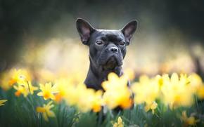 Картинка взгляд, морда, цветы, собака, нарциссы, французский бульдог