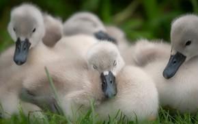 Картинка птицы, природа, уют, вместе, сон, лебедь, малыши, компания, птенец, птенцы, много, спят, выводок, лебедята, лебеденок, …