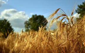 Картинка поле, лето, небо, облака, свет, деревья, природа, рожь, желтые, колоски, колосья, злаки, много, ячмень, золотистые, …