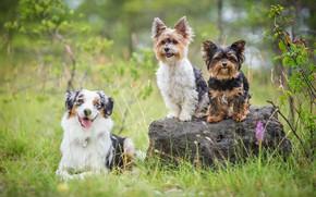 Картинка собаки, лето, трава, взгляд, поза, камень, три, трио, друзья, сидят, йоркширский терьер, австралийская овчарка, троица, …