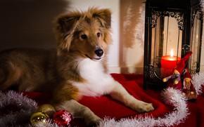 Картинка взгляд, свет, поза, свеча, собака, Рождество, фонарь, щенок, Новый год, ткань, лежит, мишура, мордашка, ёлочные …