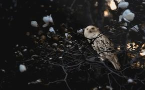 Картинка свет, цветы, ветки, темный фон, сова, птица, сад, белые, магнолия, полярная, полярная сова