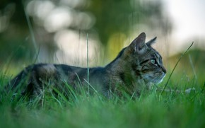 Картинка кошка, трава, кот, природа, серый, фон, поляна, лежит, профиль, полосатый, боке