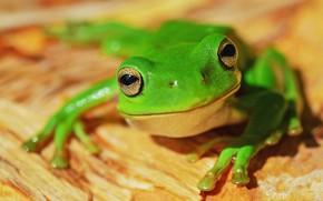 Картинка взгляд, макро, поза, лягушка, зеленая, желтый фон, боке
