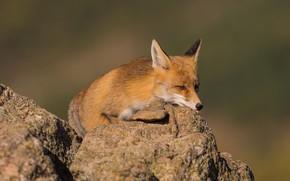 Картинка взгляд, морда, природа, камни, фон, камень, лиса, лежит, рыжая, лисица