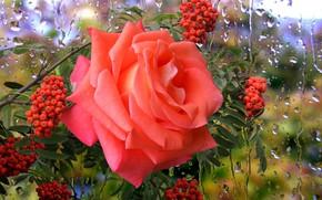Картинка дождь, роза, рябина, сюрприз