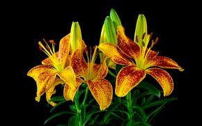 Картинка цветы, яркие, лилии, букет, желтые, черный фон, бутоны, с красным, композиция, в крапинку, красно-желтые