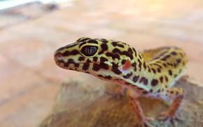 Картинка reptile, gecko, leopard gecko