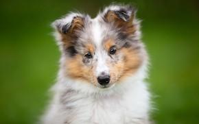 Картинка взгляд, фон, собака, щенок, мордашка, Шелти, Шетландская овчарка