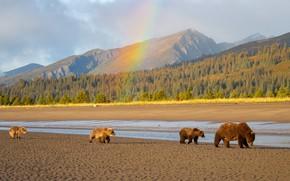 Картинка лес, горы, берег, медведи, прогулка, медвежата, водоем, медведица