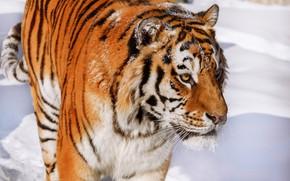 Картинка морда, снег, тигр, дикая кошка, красавец, Олег Богданов