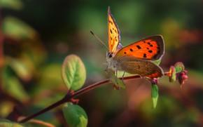 Картинка макро, природа, бабочка, ветка, насекомое