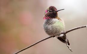 Картинка птица, ветка, колибри, птичка, светлый фон