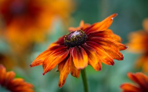 Картинка цветок, макро, оранжевый, яркий, муха, рудбекия