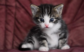 Картинка кошка, кот, взгляд, котенок, серый, фон, портрет, малыш, ткань, котёнок, мордашка, сидит, полосатый, с белым