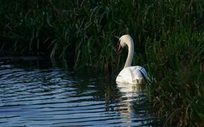 Картинка белый, трава, вода, пруд, темный фон, заросли, птица, берег, лебедь, водоем, круги по воде