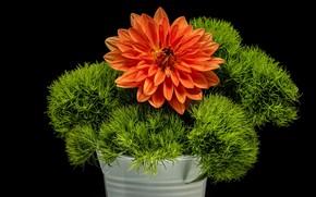 Картинка зелень, цветок, чёрный фон, георгина