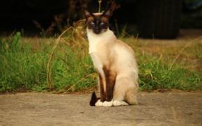 Картинка кошка, природа, сиамская