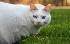 Картинка кошка, белый, трава, кот