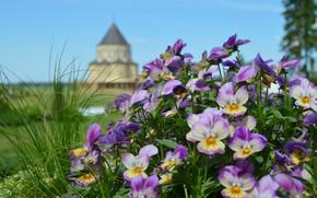 Картинка цветы, природа, замок, башня, анютины глазки, клумба, сиреневые, боке, виолы