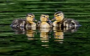 Картинка вода, отражение, утки, три, трио, утята, утёнок, птенец, птенцы, водоем, зеленый фон, плавание, утенок, троица, …