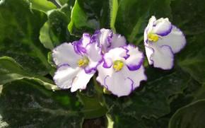 Картинка Цветочки, Flowers, Фиалки