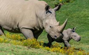 Картинка цветы, природа, малыш, пара, носорог, детеныш, два, мать, носороги, два носорога