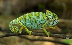 Картинка зеленый, хамелеон, фон, лапки, ветка, спираль, хвост, профиль, боке, пятнистый, рептилия
