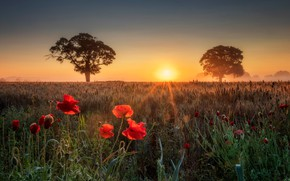 Картинка поле, лето, деревья, закат, цветы, маки