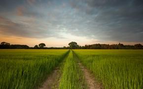 Картинка дорога, поле, облака, колея, злаки, лесополоса