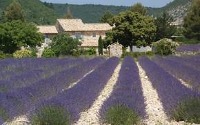 Картинка поле, цветение, лаванда, поместье