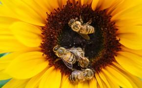 Картинка цветок, макро, насекомые, желтый, пчела, подсолнух, лепестки, пчелы