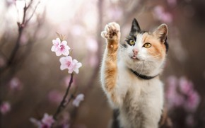 Картинка язык, кошка, взгляд, цветы, ветки, поза, весна, розовые, цветение, боке, размытый фон, желтые глаза, лапка, …