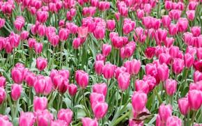 Картинка поле, цветы, тюльпаны, розовые, field, pink, tulips, flowrs