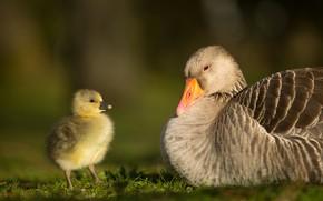 Картинка птицы, фон, малыш, пара, птенец, два, гусь, гуси, гусенок, гусыня