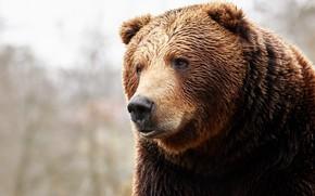Картинка морда, медведь, великан, animal