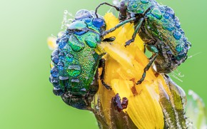 Картинка цветок, капли, макро, насекомые, роса, фон, жук, бутон, пара, жуки, парочка, два, два жука