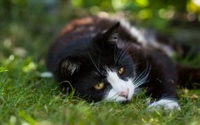 Обои зелень, кошка, лето, трава, кот, морда, природа, поза, фон, отдых, черно-белый, черный, лежит, котэ, боке, ...